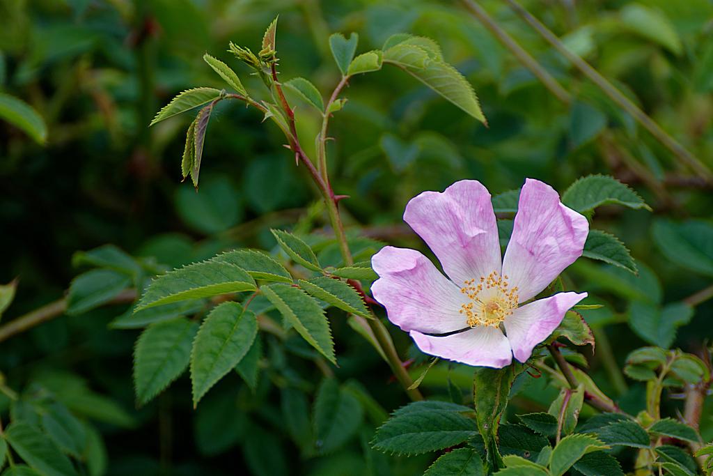 Fleur rosier sauvage ! Dsc_1117