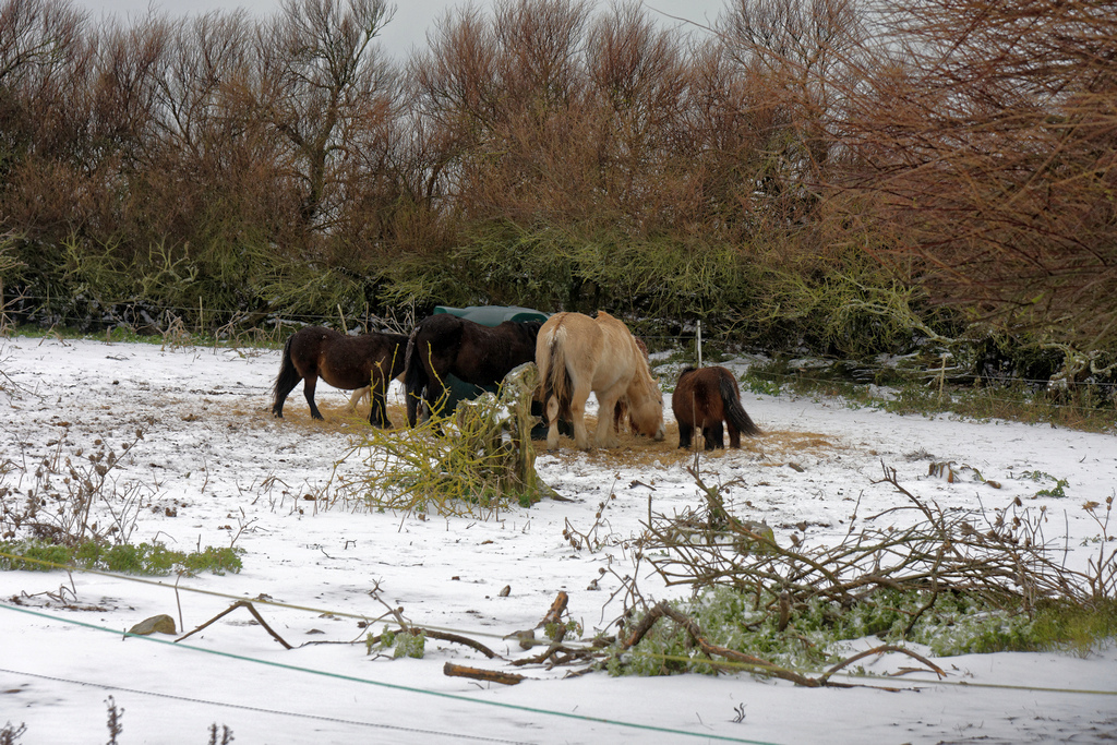 """Chevaux de """"neige"""" ! Dsc_2511"""