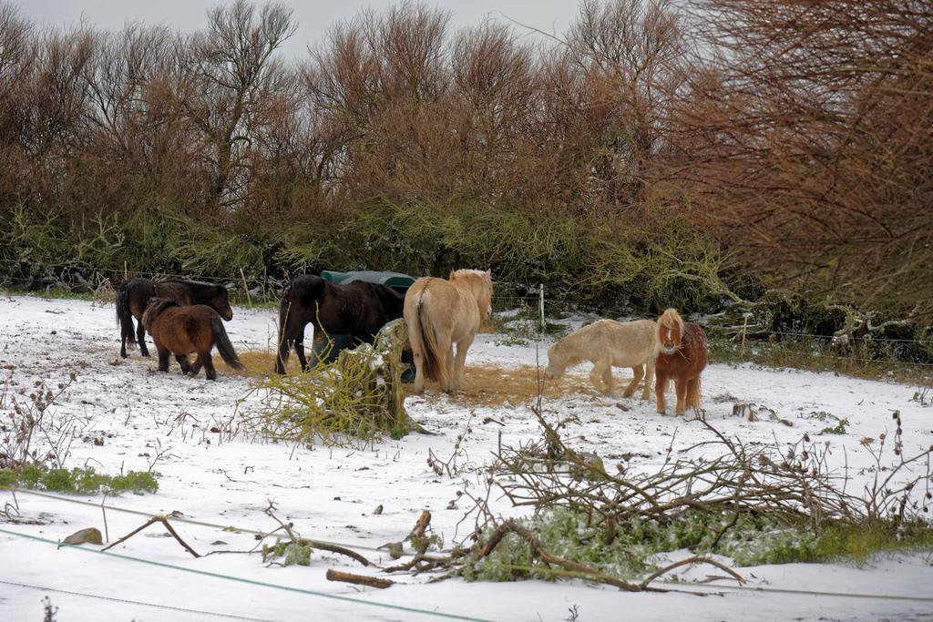 """Chevaux de """"neige"""" ! Dsc_2512"""