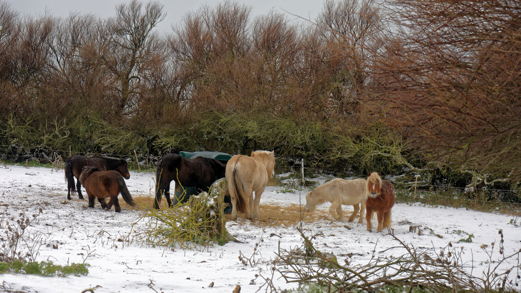 """Chevaux de """"neige"""" ! Dsc_2513"""