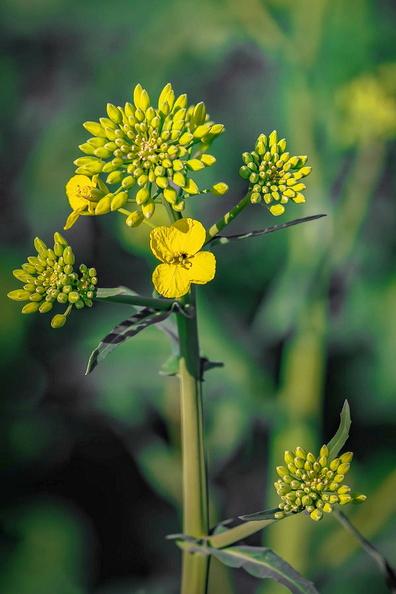 Jeune fleur de colza... I_dxo_10