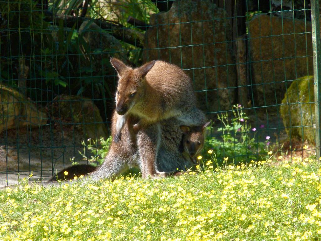femelle wallaby avec son petit ! P1040611