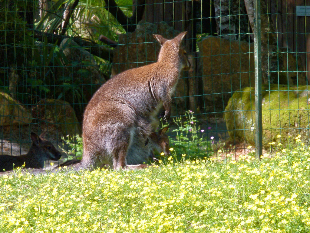 femelle wallaby avec son petit ! P1040612