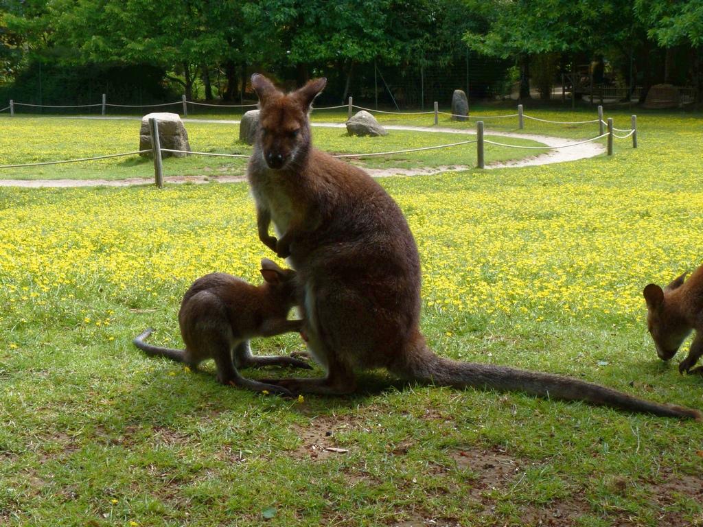 femelle wallaby avec son petit ! P1040718