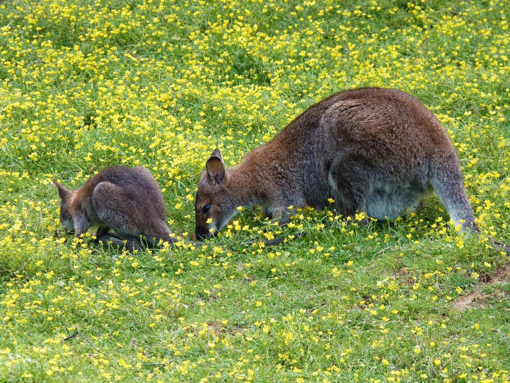 femelle wallaby avec son petit ! P1040914