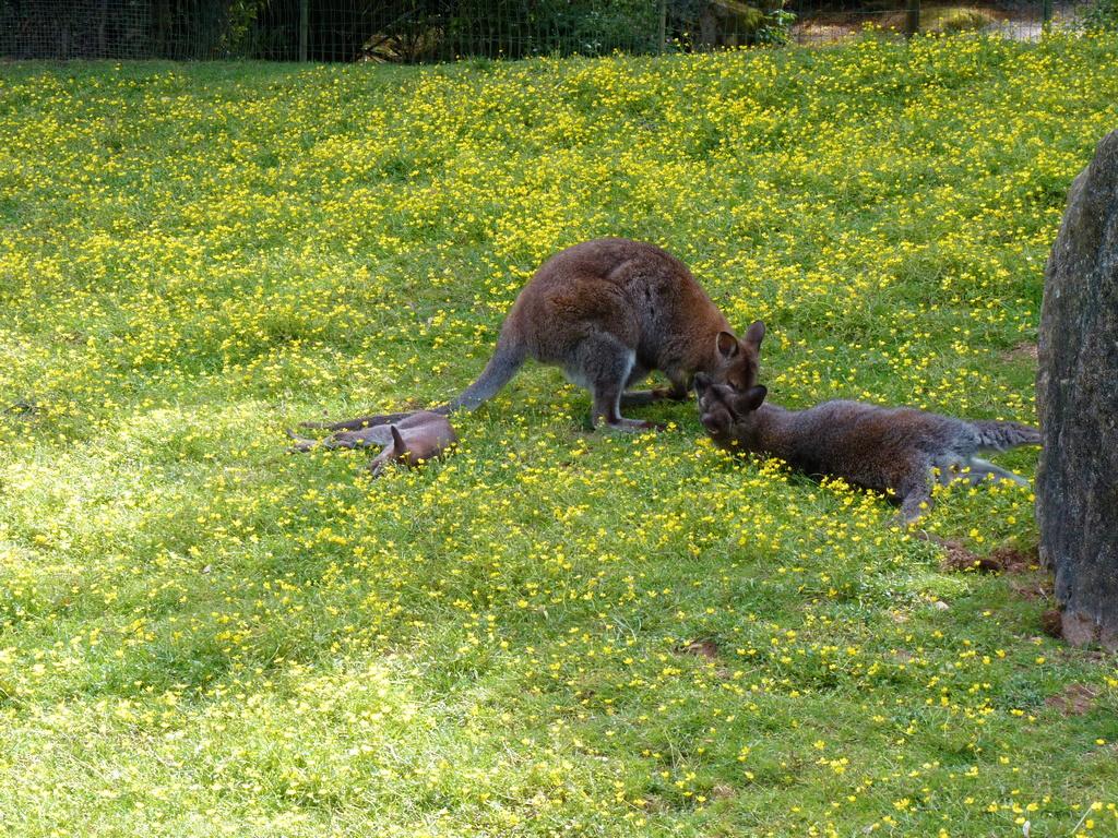 femelle wallaby avec son petit ! P1040915