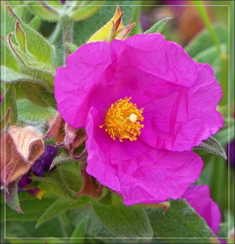 Fleur crêpon fushia  P1170010