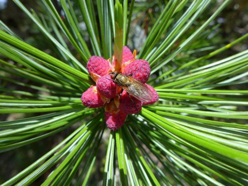 Fleur alpine 2 P1170011