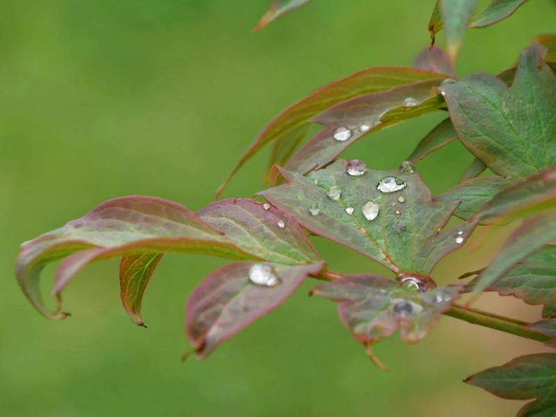 Gouttes de rosée sur des feuilles de pivoine Photo_10