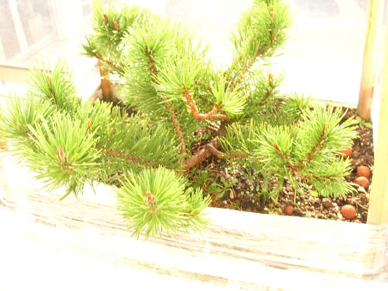 Projet pour un jeune pin mugo Dscn2712