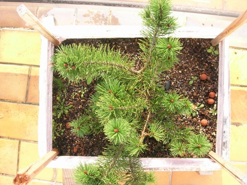Projet pour un jeune pin mugo Dscn2714