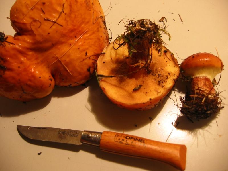 Bolet élégant (Suillus grevillei)