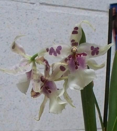 orchidée Vuylstekeara cambria Orchid10