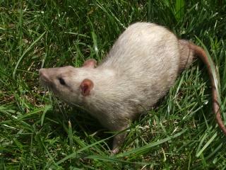Couleur d'un raton Pict7910