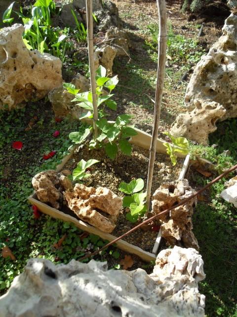 Bouturage de Jasminum sambac ou jasmin d'Arabie ? Sdc10710