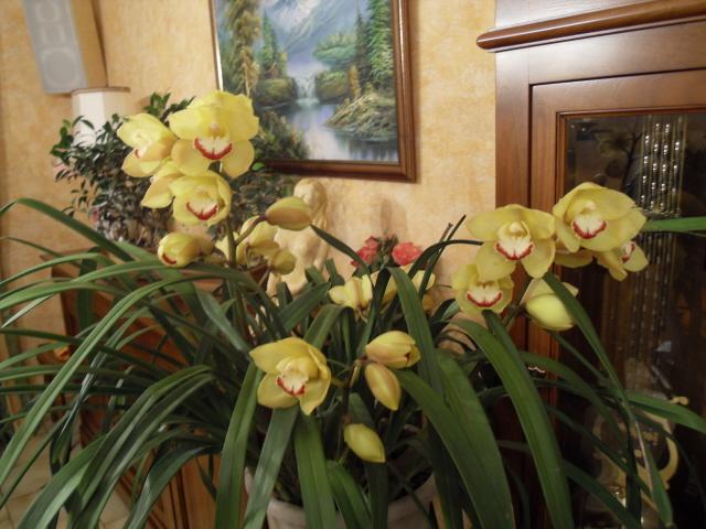 cymbidiums et phalaenopsis Sdc10912