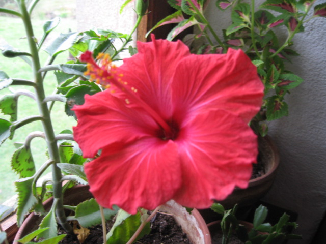 quel beau cadeau se matin     mes hibiscus Img_0028
