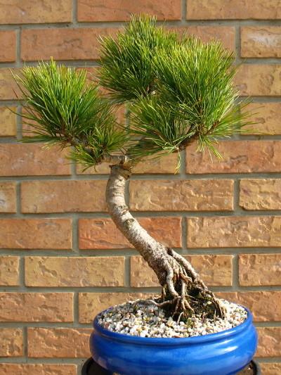 BONSAÏ - Page 2 Pinus_10