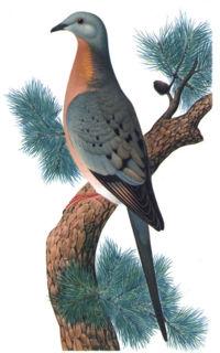 Le pigeon migrateur 200px-10