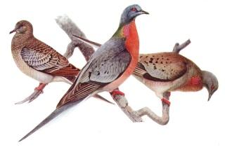 Le pigeon migrateur 800px-10