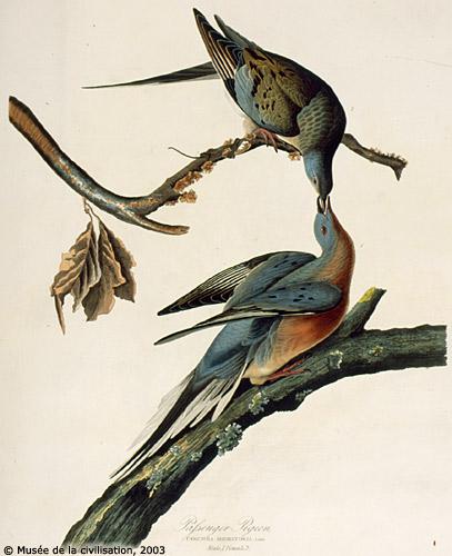 Le pigeon migrateur Audubo10