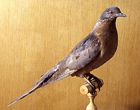 Le pigeon migrateur Pigeon11