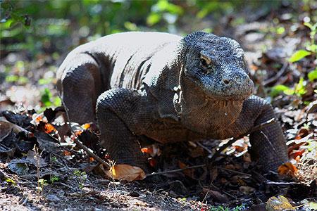 Le dragon de Komodo Pt667311