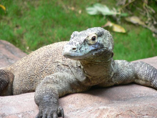 Le dragon de Komodo Varanu11