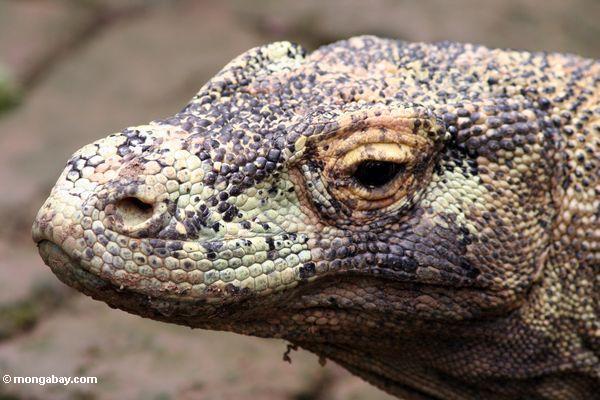 Le dragon de Komodo Z878611