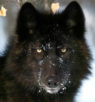 La historia de la compañia del Lobo Negro parte I Blackw10