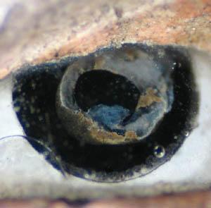 les yeux des sculptures . (incrustation, pâte de verre, œil) Oeil_211