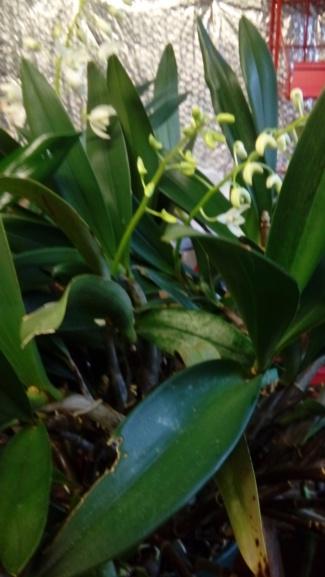 Epidendrum mystérieux 20191210