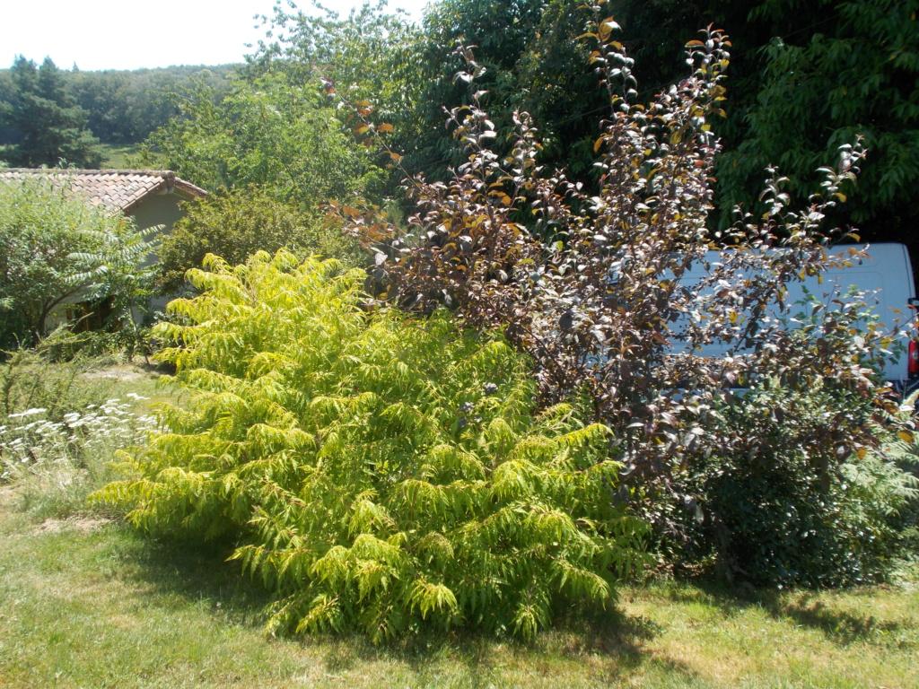 Rhus typhina - sumac de Virginie, vinaigrier  - Page 2 Dscn1510