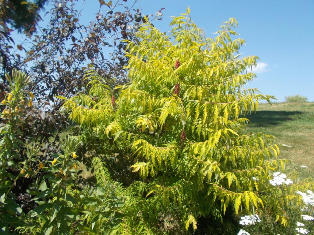 Rhus typhina - sumac de Virginie, vinaigrier  - Page 2 Dscn1511