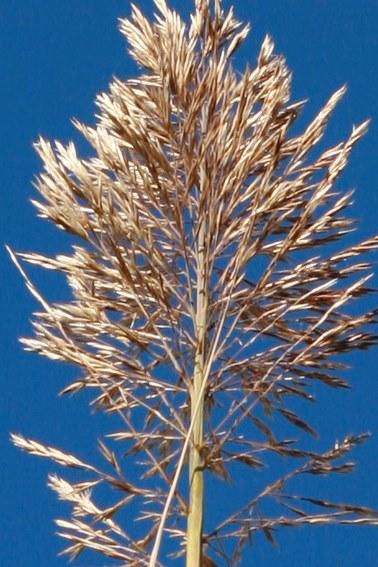 Arundo donax - [identification] Plante11