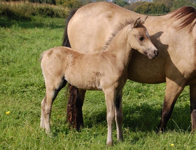 2008 - Welsh part-bred à l'élevage de Hansez Figaro11
