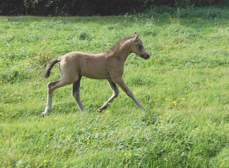 2008 - Welsh part-bred à l'élevage de Hansez Figaro12