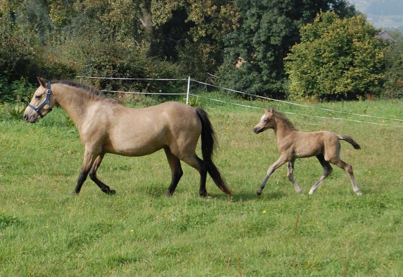 2008 - Welsh part-bred à l'élevage de Hansez Figaro13