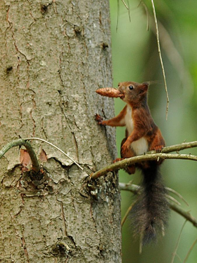 Wangen : gros plan sur le chipeur de noix Acureu10