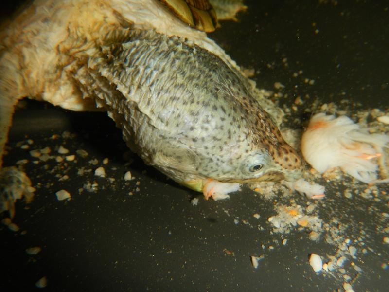 Mes Sternostherus carinatus Dscn6414