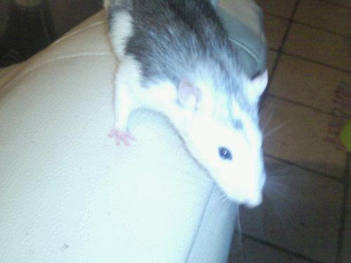 Bounty rat mâle 27 Getatt10