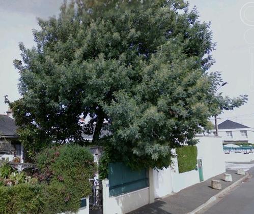 ça commence a fleurir...(Mimosa, Acacia dealbata) - Page 3 Google10