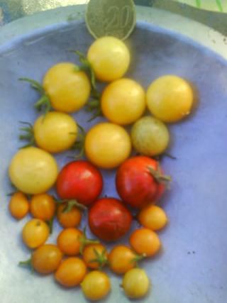 Tomates Dsc00711
