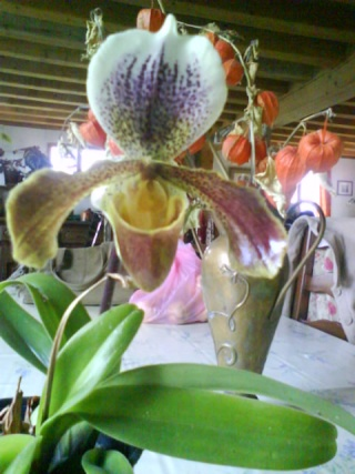 orchidees Dsc00910