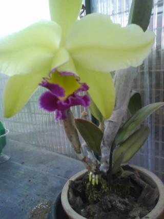 orchidees Dsc00911
