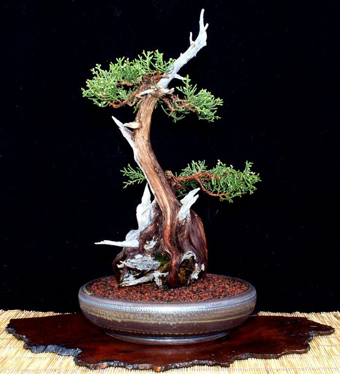 California Juniper just repotted Valcal11