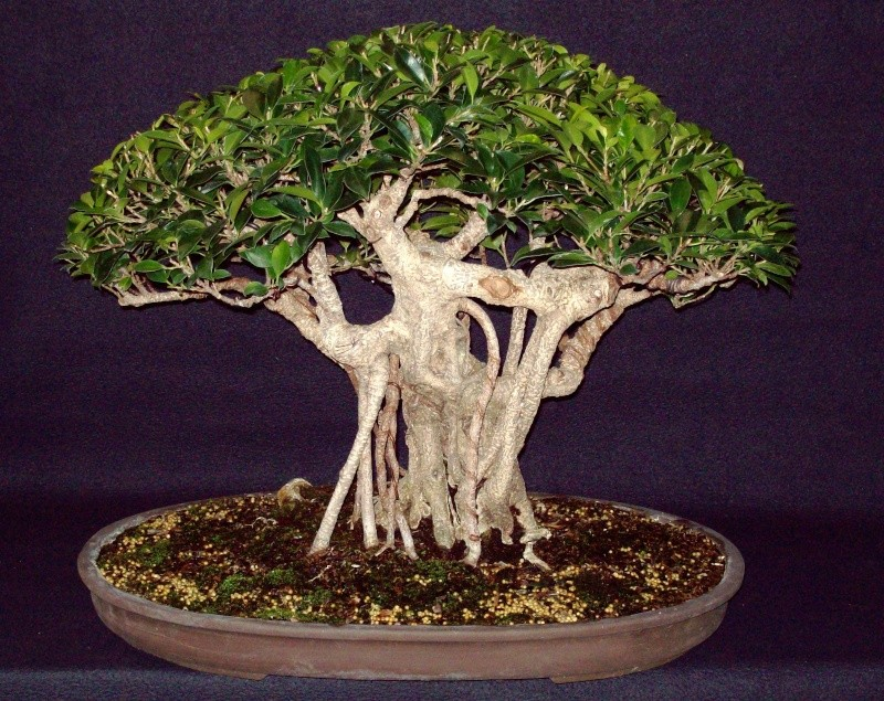 Tigerbark Ficus and Christmas present... Bonsai10