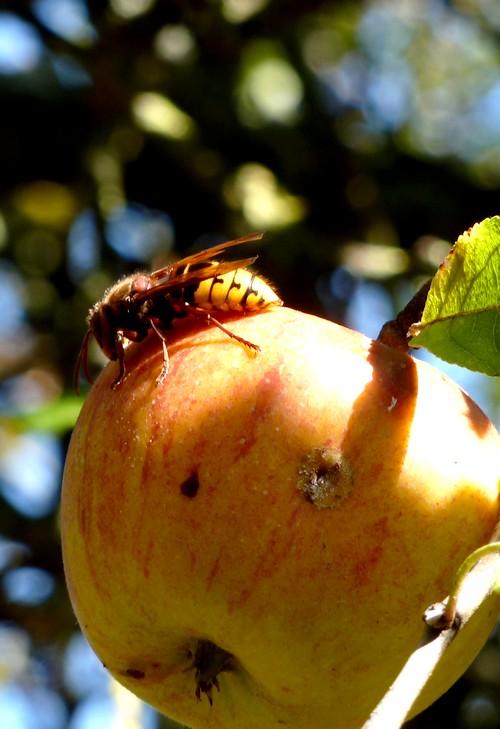 oeil de libellule Frelon12