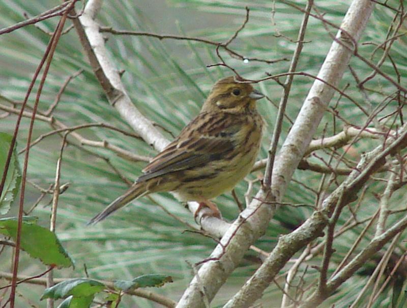 Identification oiseaux Bruant10