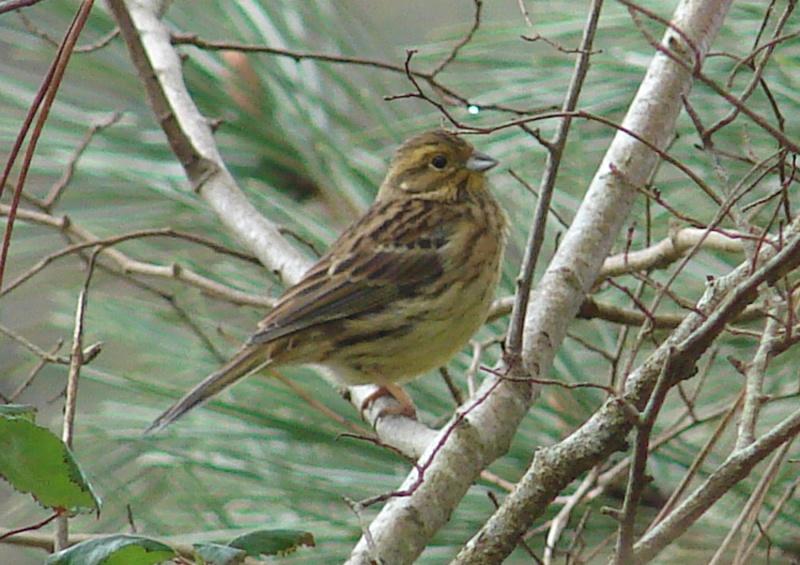 Identification oiseaux Bruant11